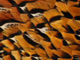 Close-Up of Pheasant Feathers, Medicine Rocks, Montana, USA Photographic Print by Darlyne A. Murawski