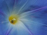 Close-Up of Morning Glory Flower with Small Bee, Arlington, Massachusetts, USA Photographic Print by Darlyne A. Murawski