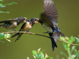 Barn Swallow Chicks, Hirundo Rustica, Being Fed by a Hovering Parent, Arlington, Massachusetts, USA Photographie par Darlyne A. Murawski