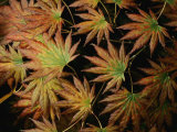 Japanese Maple Leaves, New York Photographic Print by Darlyne A. Murawski
