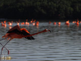 Flamingo Takes Flight, Celestun National Park, Yucatan State, Mexico Photographic Print by Raul Touzon