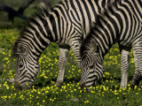 Two Common or Burchell's Zebras Grazing Among Wildflowers, Mombo, Okavango Delta, Botswana Photographic Print by Beverly Joubert