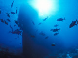 Diver on Ship Wreck with Trevally Fish Swawrming, Phoenix Islands, South Pacific Photographic Print by Nick Norman