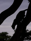 Silhouetted Leopard Descending a Tree Branch at Twilight, Mombo, Okavango Delta, Botswana Photographic Print by Beverly Joubert