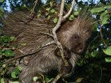 Porcupine Climbing Among Tree Branches, Ekalaka, Montana Photographic Print by Darlyne A. Murawski