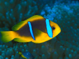 Vibrant Clown Fish, Phoenix Islands, South Pacific Photographic Print by Nick Norman
