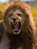 Male African Lion, Panthera Leo, with a Snarling Grimmace on His Face Fotodruck von Beverly Joubert
