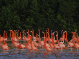 Pink Flamingos Against a Backdrop of Green Trees and Reflections Photographic Print by Raul Touzon