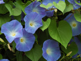 Morning Glories in Bloom in Arlington, Massachusetts, USA Photographic Print by Darlyne A. Murawski