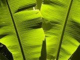 Sun Pattern on Tropical Jungle Leaf, Punta de Sal island, Honduras Photographie par Richard Nowitz