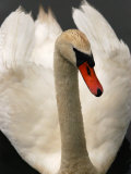 Close-Up Portrait of a Mute Swan with its Wings Held Up, Providence, Rhode Island Photographic Print by Darlyne A. Murawski