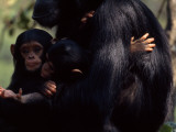 Twins, Extremely Rare in Chimpanzees, with their Mother, Gombe Stream National Park, Tanzania Photographic Print by Michael Nichols