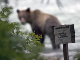 Alaskan Brown Bear Fishing for Salmon, Southeast Alaska Fotografiskt tryck av Michael S. Quinton