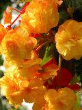 Yellow Begonia Flowers, Victoria, British Columbia, Canada Fotografisk tryk af Darlyne A. Murawski