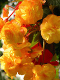 Yellow Begonia Flowers, Victoria, British Columbia, Canada Photographic Print by Darlyne A. Murawski