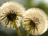 Close-Up of Two Dandelions, Arlington, Massachusetts, USA Photographic Print by Darlyne A. Murawski