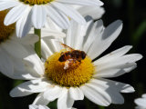 Flower Fly Drinking Nectar from a Daisy, Belmont, Massachusetts, USA Photographic Print by Darlyne A. Murawski