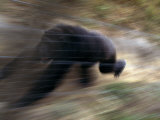 Panned View of Running Adult Male Chimpanzee Photographic Print by Michael Nichols