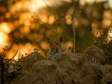 Leopard Rests in the Safety of a Rock Outcrop as Evening Descends, Mombo, Okavango Delta, Botswana Photographic Print by Beverly Joubert