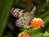 Tree Nymph Butterfly Drinks Nectar from Lantana Flowers, Idea Leuconoe Photographic Print by Darlyne A. Murawski