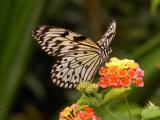 Tree Nymph Butterfly Drinks Nectar from Lantana Flowers, Idea Leuconoe Photographic Print by Darlyne A. Murawski