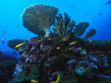 Fairy Basslets and Hard Coral, Phoenix Islands, South Pacific Photographic Print by Nick Norman