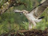 Eaglet Exercises its Wings in Preparation for a First Flight Fotografiskt tryck av Klaus Nigge
