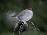 Vividly Colored Tail and Head Feathers of a Red-Browed Finch Photographic Print by Jason Edwards