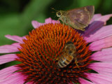 Skipper Butterfly and a Bee Driking Nectar from a Purple Coneflower, Belmont, Massachusetts, USA Photographic Print by Darlyne A. Murawski