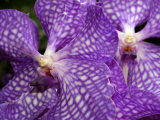 Vanda Tokyo Blue Orchid Flowers Photographic Print by Darlyne A. Murawski