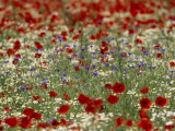 Bachelor Buttons, Poppies, and Other Flowers in Bloom Photographic Print by Norbert Rosing
