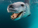 Close View of a Leopard Seal&#39;s Tooth-Filled Mouth, Antarctica Photographie par Paul Nicklen
