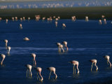 Flock of Migratory Flamingos Foraging in the Laguna Colorada Photographic Print by Joel Sartore