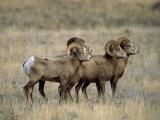 Four Bighorn Rams in Grassland, Augusta, Montana Photographie par Joel Sartore