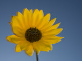 Close-Up of a Sunflower, Flagstaff, Arizona Photographic Print by John Burcham