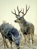 Mule Deer Buck Watches over His Doe, Yellowstone National Park, Wyoming Photographie par Michael S. Quinton