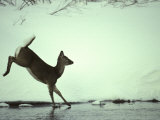 White Tail Deer Doe Runs in River, Island Park, Idaho Photographic Print by Michael S. Quinton