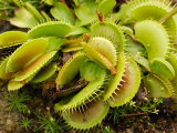 Cultivated Venus Fly Trap, Providence, Rhode Island Photographic Print by Darlyne A. Murawski