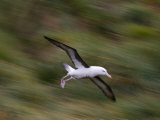 Black-Browed Albatross in Flight, West Point Island, Falkland Islands Photographic Print by Paul Nicklen