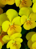 Close-Up of Pansies Flowers, Belmont, Massachusetts, USA Photographic Print by Darlyne A. Murawski