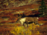 Bull Caribou Migrate to Rutting Leks, Denali National Park, Alaska Photographic Print by Michael S. Quinton