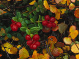 Lowbush Cranberries in the Yukon, Canada Photographic Print by Nick Norman