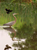 Great Blue Heron in a Pond Is Mobbed by a Male Red Winged Blackbird, Arlington, Massachusetts, USA Photographic Print by Darlyne A. Murawski