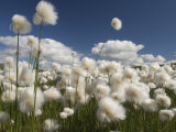 Cotton Grass Seed Heads Whip in the Wind, Paxon Alaska Fotografiskt tryck av Michael S. Quinton