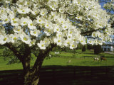 Blossoming Dogwood Tree and Grazing Horses, Virginia Photographic Print by Annie Griffiths Belt