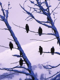 Several Bald Eagles Perched on Small Branches of a Tree, Chilkat Eagle Preserve, Haines, Alaska Photographic Print by Nick Norman