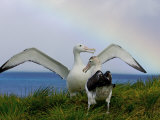 Wandering Albatross Courtship Display, Male Trying to Impress Female Photographie par Paul Nicklen