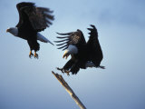 Fighting American Bald Eagles, Chilkat Eagle Preserve, Haines, Alaska Photographic Print by Nick Norman