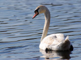 Mute Swan Swimming, an Invasive Species in USA, Arlington, Massachusetts, USA Photographic Print by Darlyne A. Murawski