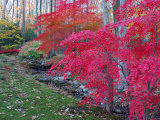 Japanese Maples with Colorful Fall Foliage in a Garden, New York Photographic Print by Darlyne A. Murawski